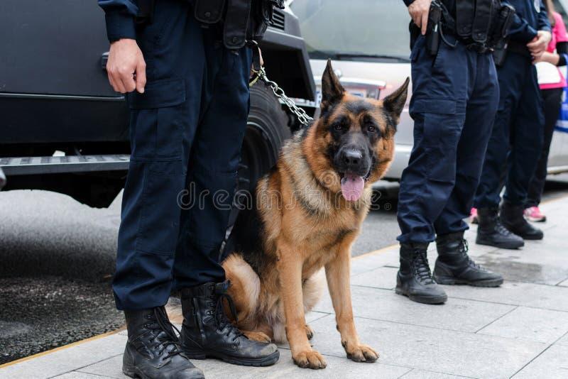 Полицейская собака на предохранителе против спрятанных преступников стоковые фото