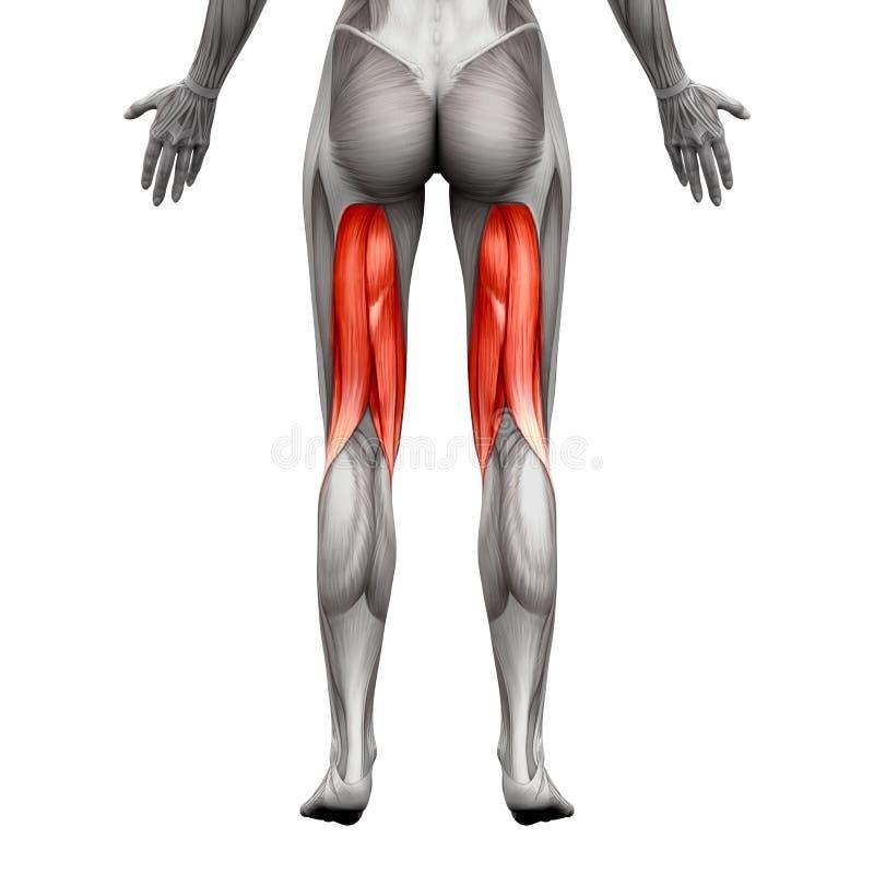 Подколенные сухожилия Muscles - мышца анатомии изолированная на бело- illus 3D бесплатная иллюстрация