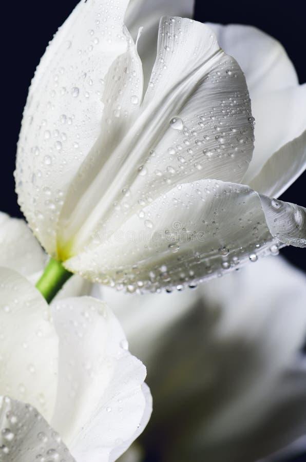 Подкрашиванные тюльпаны конца-вверх изображения белые с водой падают на темный b стоковое изображение rf