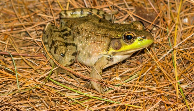 по мере того как Коста нашла лягушки лягушки растущий максимум подразумевает названный Никарагуа другая вегетация валов вала rica стоковое изображение rf