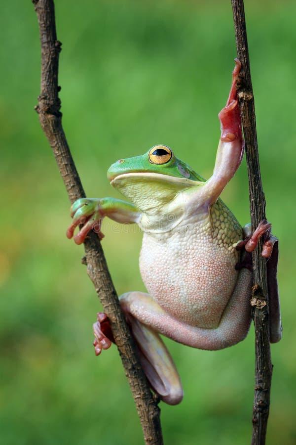 по мере того как Коста нашла лягушки лягушки растущий максимум подразумевает названный Никарагуа другая вегетация валов вала rica стоковые изображения rf