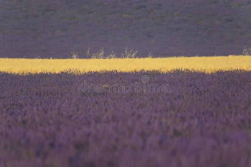 Поднимающее вверх лаванды и пшеничного поля близкое стоковое фото