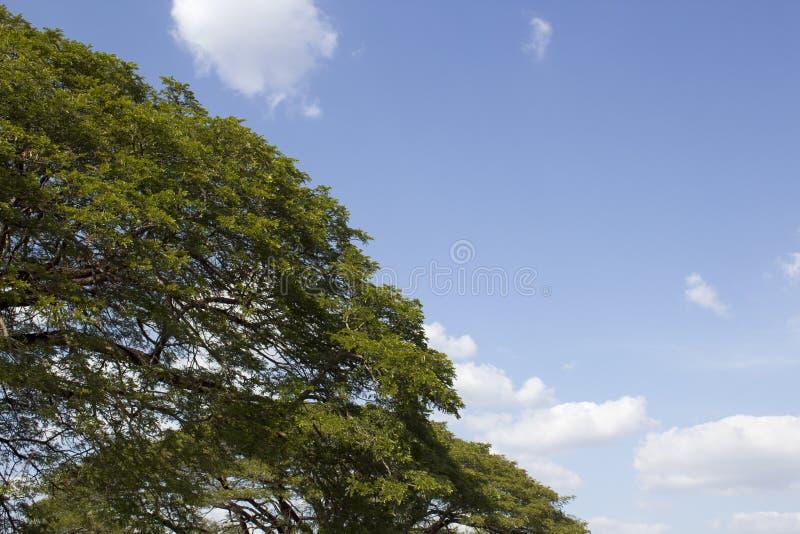 Поднимающее вверх дерева близкое и ясное небо стоковые фотографии rf