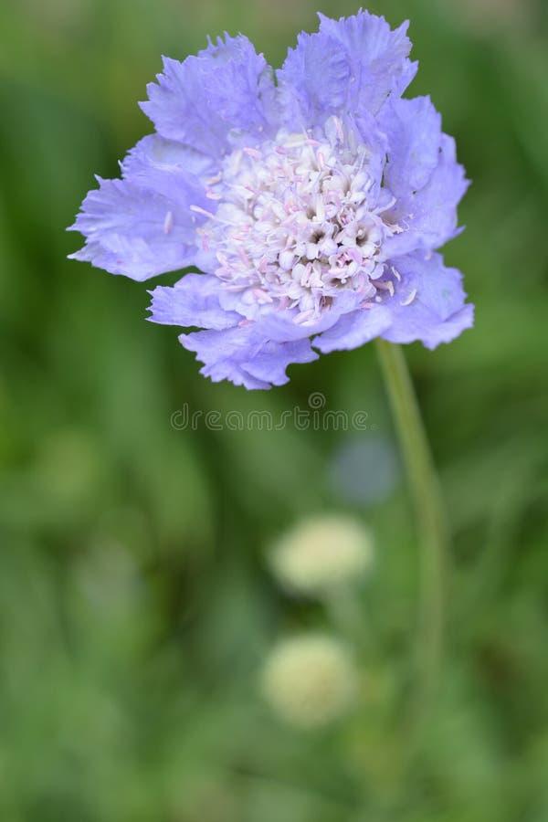 поднимающее вверх Pincushion-цветка близкое стоковая фотография