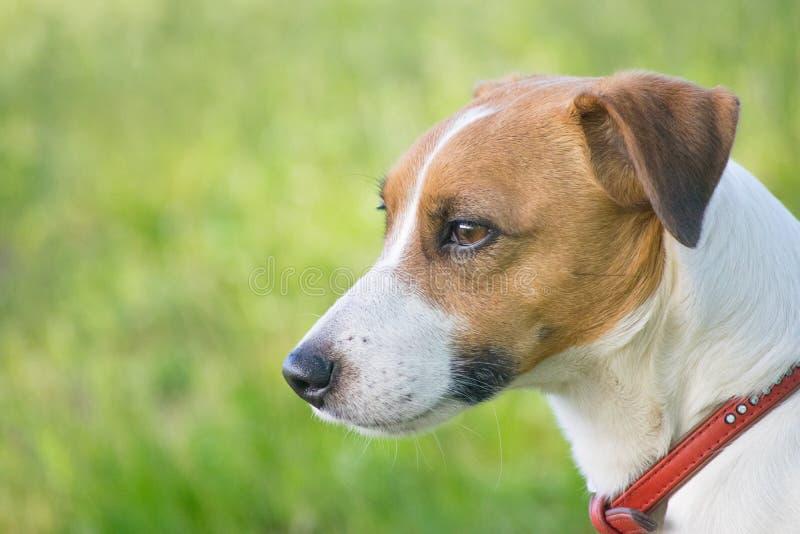 Поднимите собаку домкратом терьера Рассела в зеленой траве стоковые фотографии rf
