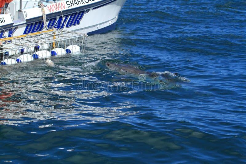 Подныривание акулы стоковое фото rf
