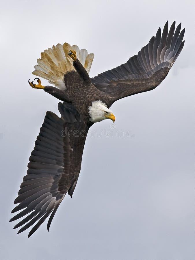 Подныривание белоголового орлана стоковая фотография rf