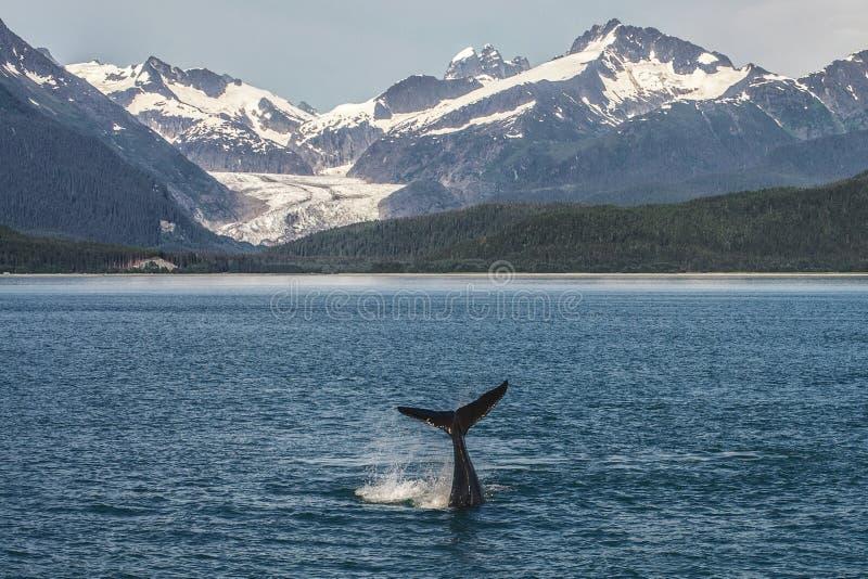 Подныривание горбатого кита младенца перед ледником стоковая фотография rf