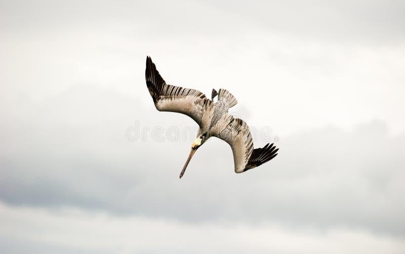 Подныривание летания пеликана стоковая фотография