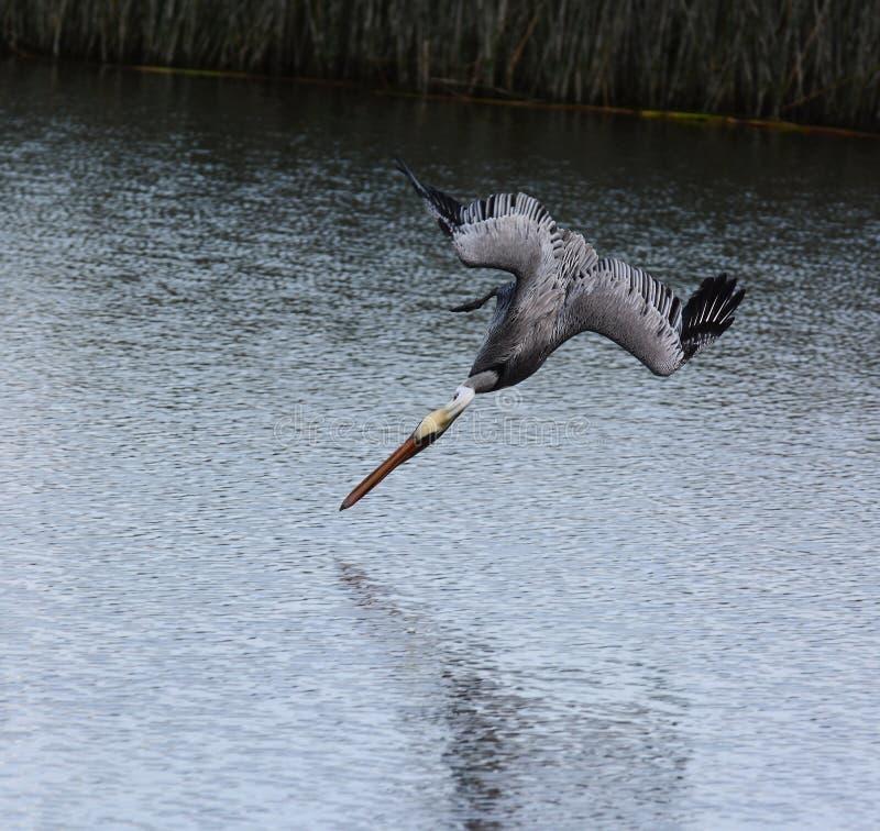 Подныривание пеликана Брайна для еды стоковые изображения rf