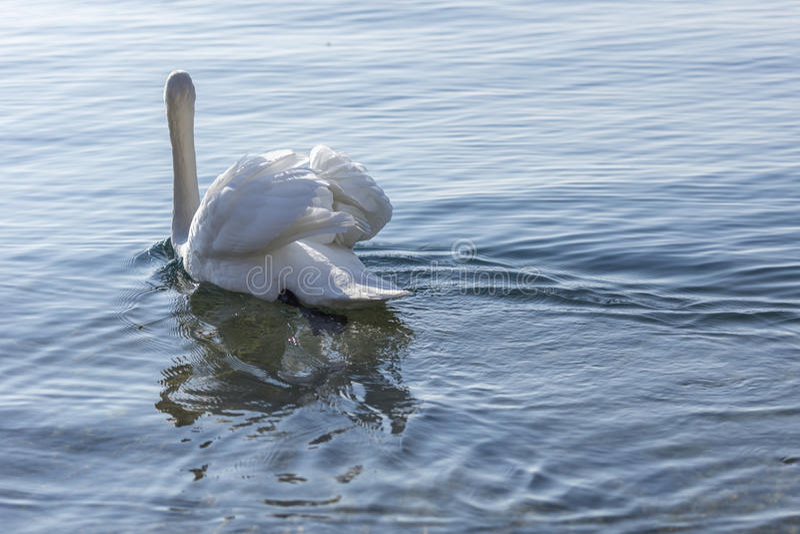 поднятые крыла заплывания лебедя стоковая фотография