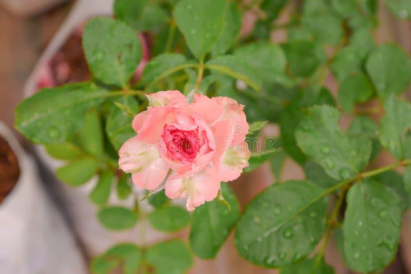 Поднял после дождя в моем саде стоковое изображение rf