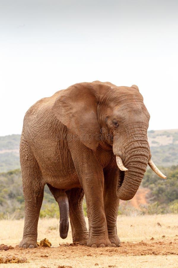Положение и охлаждать слона Буша стоковое фото rf