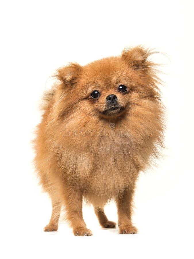 Положение собаки шпица Pomeranian мини стоковые фото