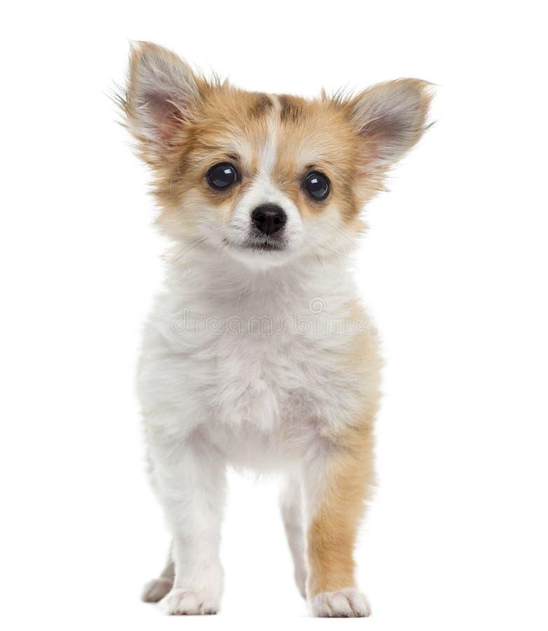 Положение щенка чихуахуа, смотря изолированную камеру, стоковое изображение