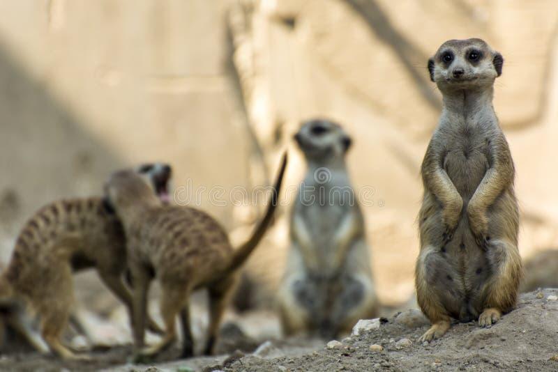 Положение Meerkats стоковое фото rf