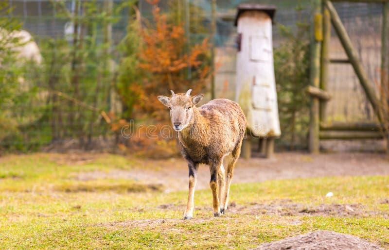 Положение Mouflon женское на траве стоковая фотография