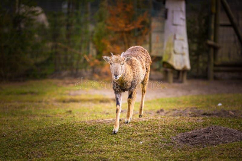 Положение Mouflon женское на траве стоковое изображение rf