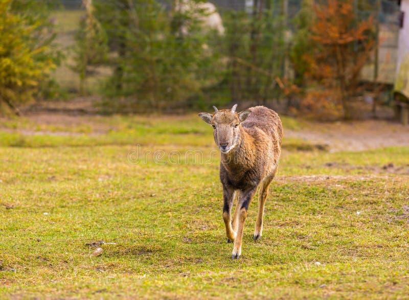Положение Mouflon женское на траве стоковое фото rf