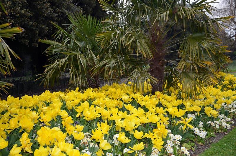 Положите в постель с много желтыми цветя тюльпанами в парке города стоковая фотография rf
