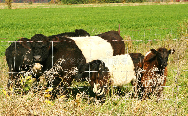 Подпоясанные коровы Galloway стоковые фотографии rf
