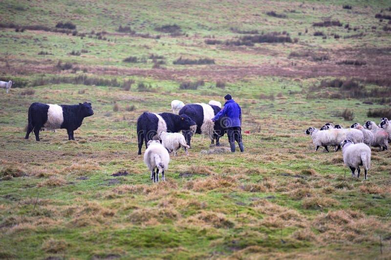 Подпоясанные скотины и овцы Galloway стоковое фото rf