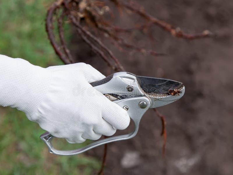 Подрезая саженцы корня перед засаживать стоковое изображение rf