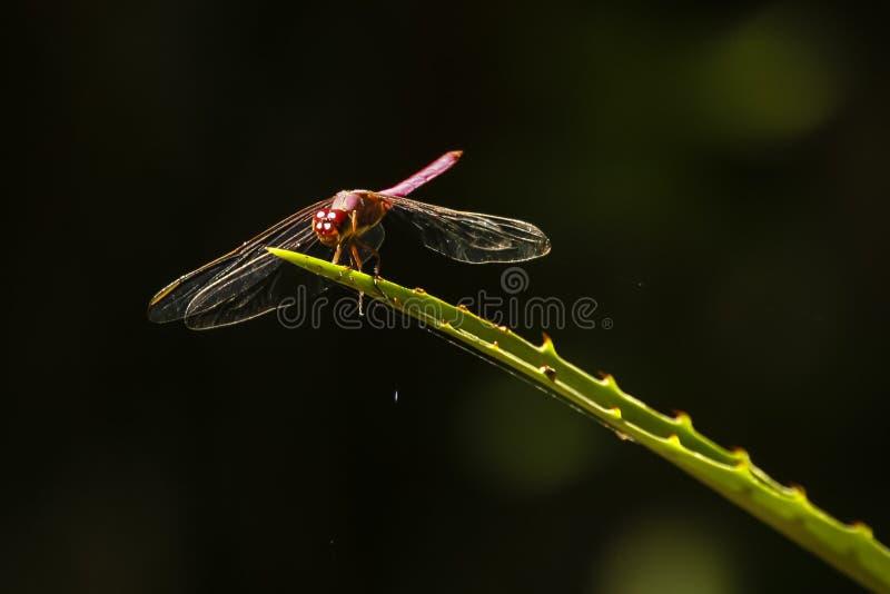 Download Подсвеченный красный Dragonfly на колючих лист завода Стоковое Изображение - изображение насчитывающей крыла, баффи: 33734737