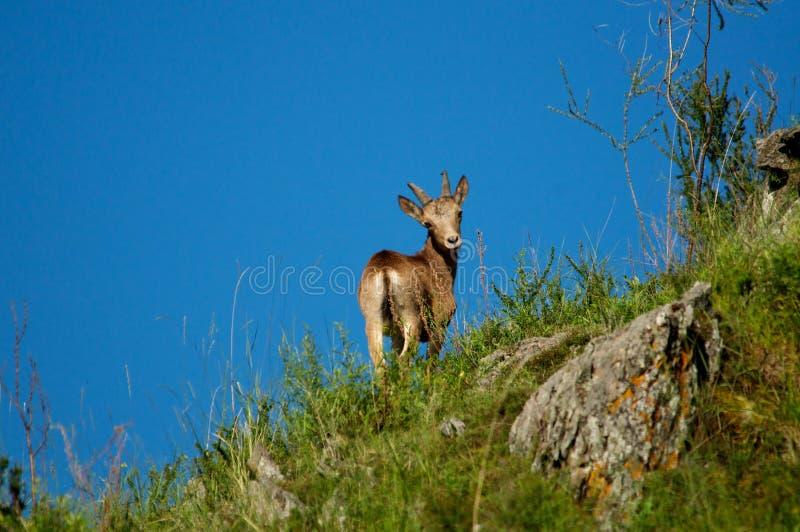 Подъем Ibex в горах против голубого неба стоковые фото