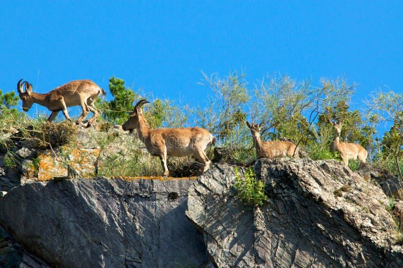 Подъем Ibex в горах против голубого неба стоковое фото
