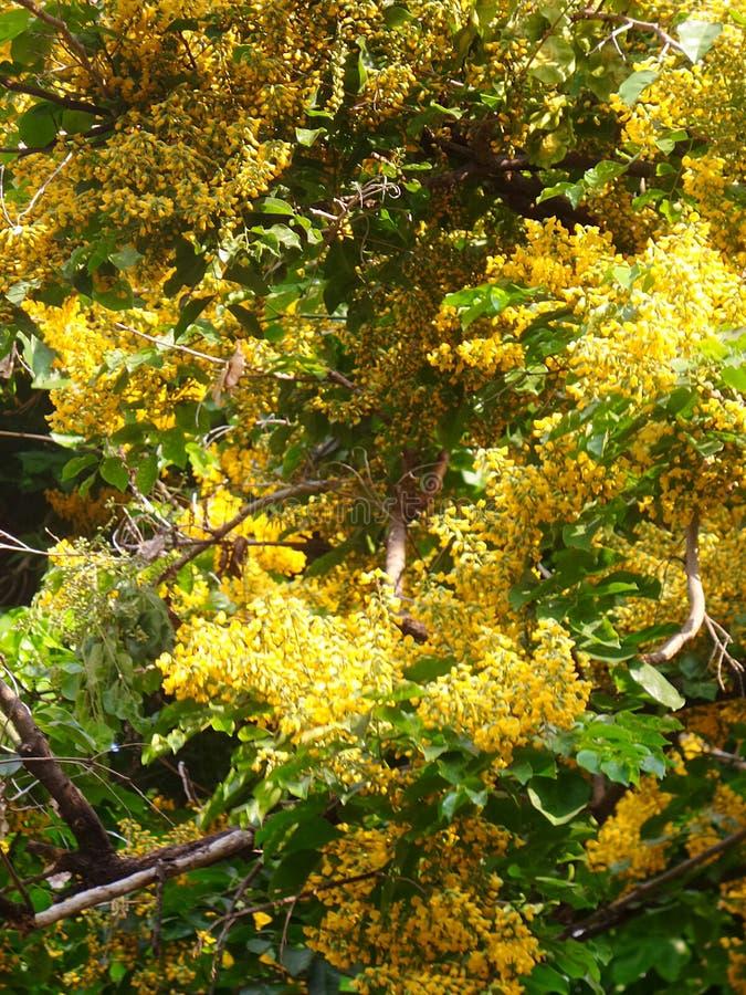 Польностью зацветая цветок Padauk стоковые фото