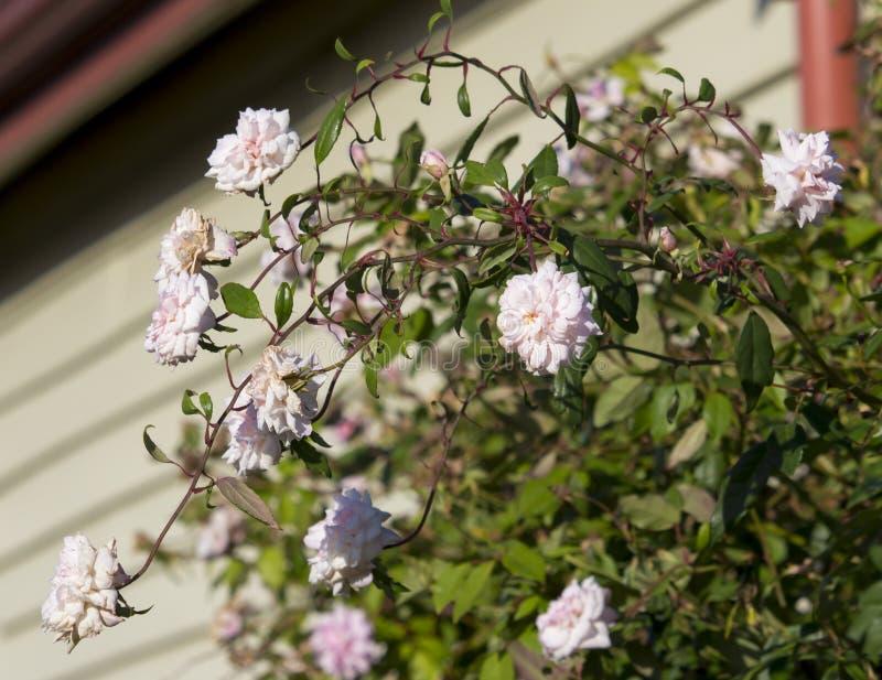Польностью надутый брызг Mademoiselle Cecile Brunner бледного - розовое возлюбленн polyantha подняло стоковое фото
