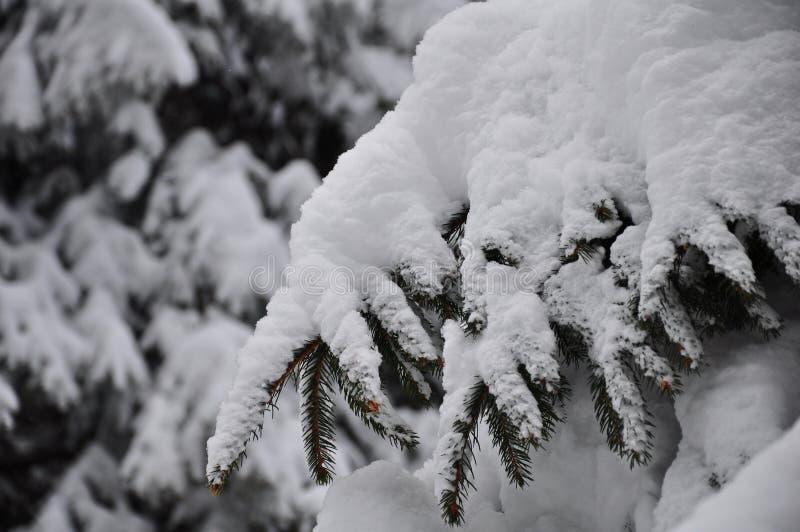 Польностью снежная ветвь ели стоковые изображения