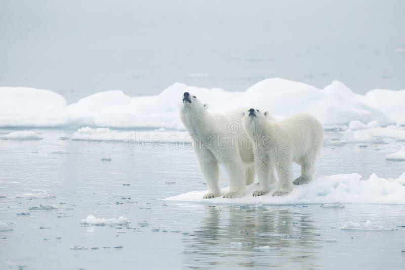 Полярные медведи на айсберге стоковые изображения rf