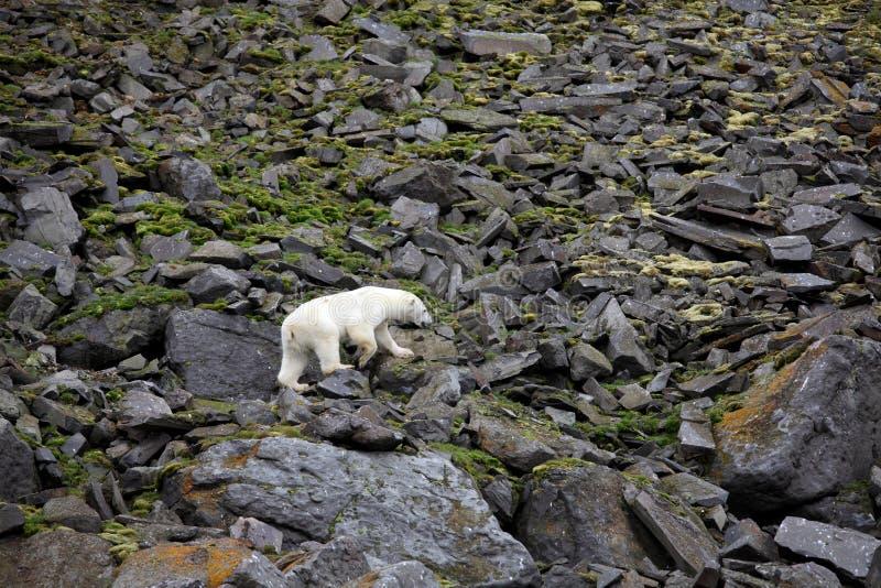 Полярный медведь в арктике лета стоковые изображения