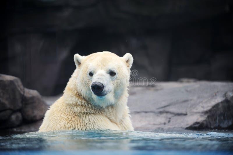 Полярный медведь стоковые фото