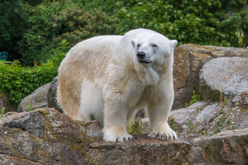 Полярный медведь в зоопарке Берлина стоковое изображение rf
