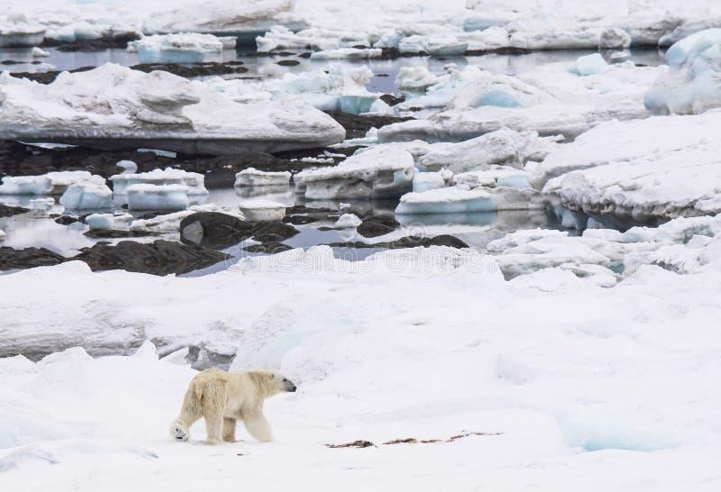 Полярный медведь в окружающей среде - арктике стоковое фото