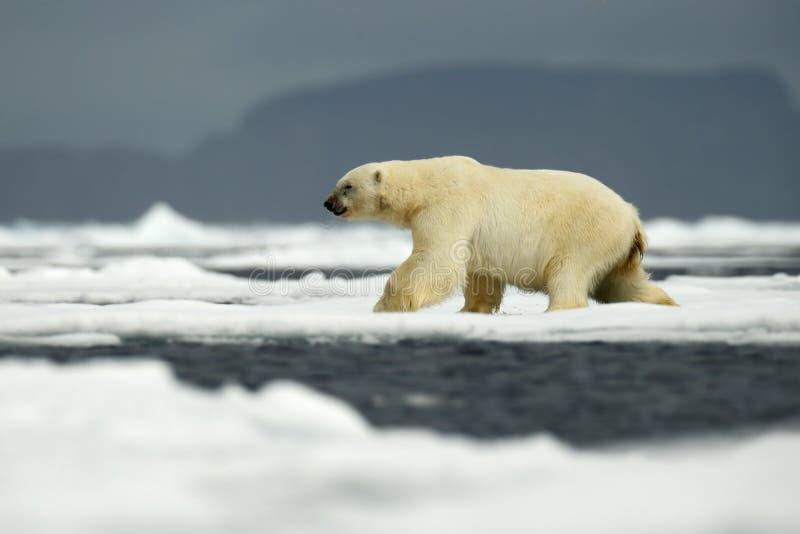 Полярный медведь в природе Большой полярный медведь на крае льда смещения с снегом вода в ледовитом Свальбарде, Норвегии стоковое изображение
