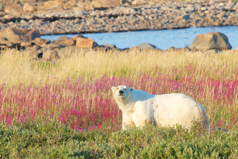 Полярный медведь в тундре стоковое фото rf