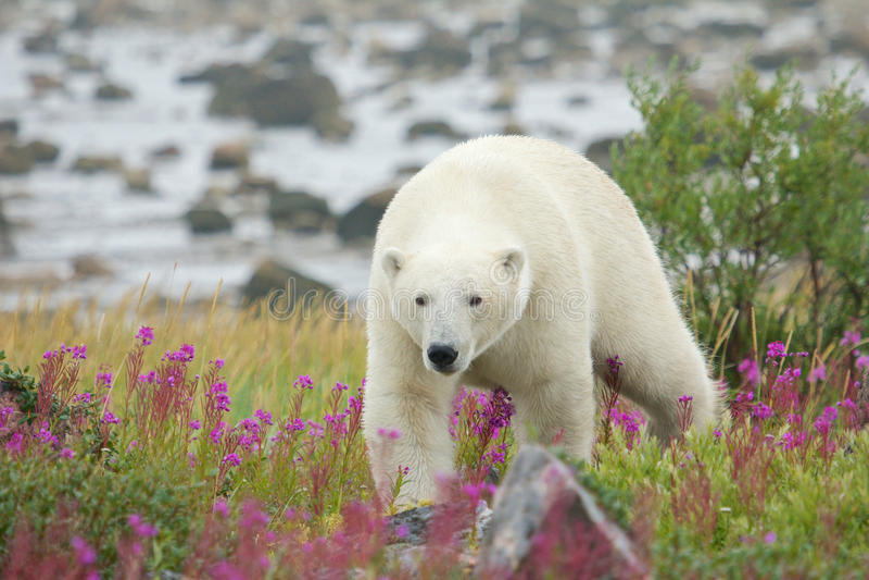 Полярный медведь в Fireweed c стоковое фото rf