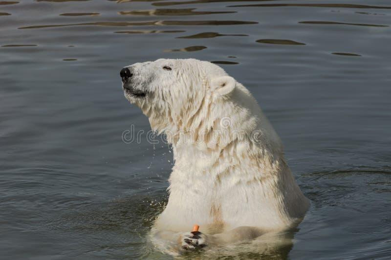 Полярный медведь есть морковь стоковые изображения