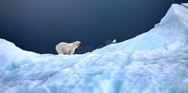 Полярный медведь и чайка цвета слоновой кости стоковые фотографии rf