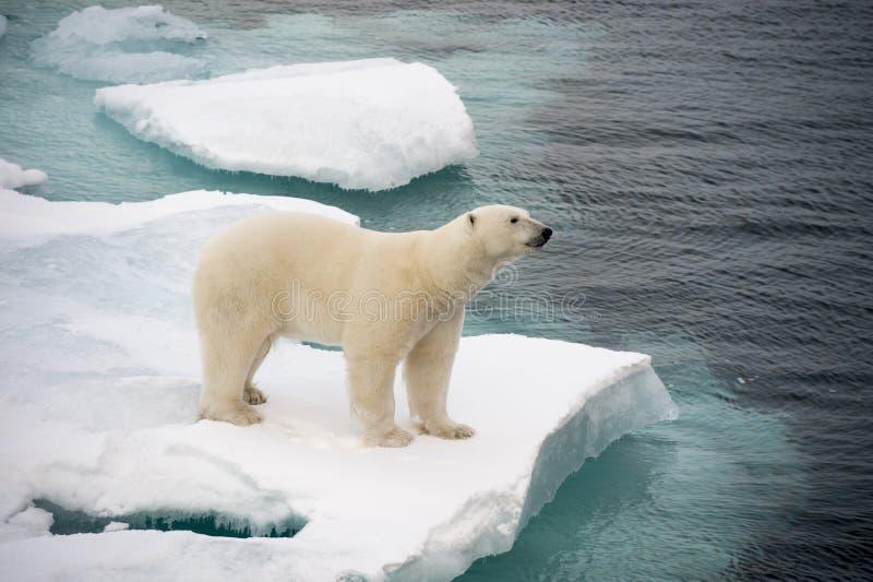 Полярный медведь идя на айсберг стоковые изображения