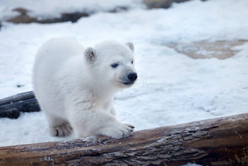 Полярный медведь младенца стоковая фотография rf