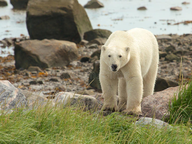 Полярный медведь на береге 1 стоковая фотография rf