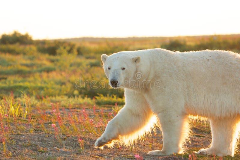 Полярный медведь на сумраке 1 стоковые изображения rf