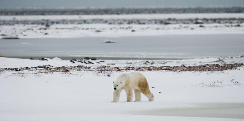 Полярный медведь на тундре снежок Канада стоковые изображения rf