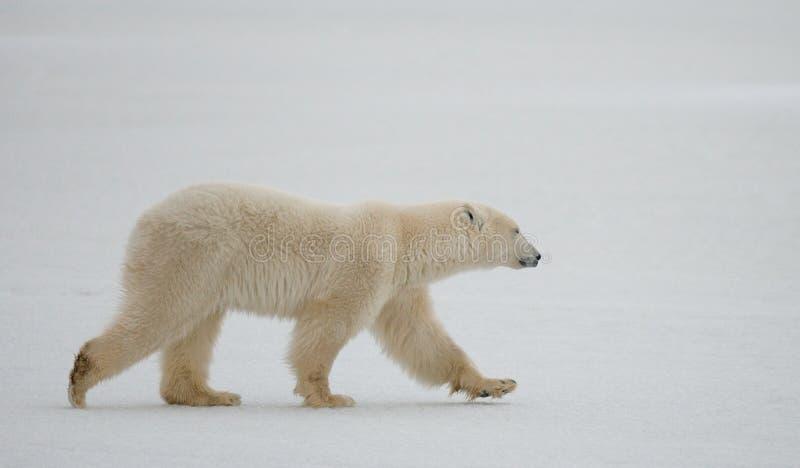 Полярный медведь на тундре снежок Канада стоковые фото