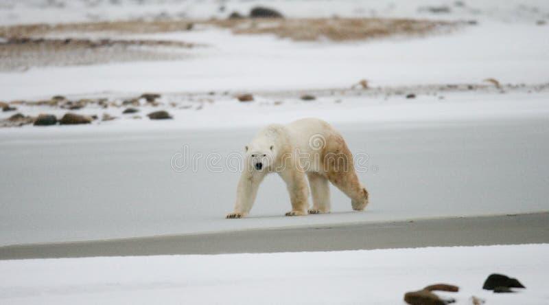 Полярный медведь на тундре снежок Канада стоковые фотографии rf